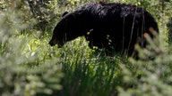 Black bears surge in Florida, but still illegal to hunt, state says