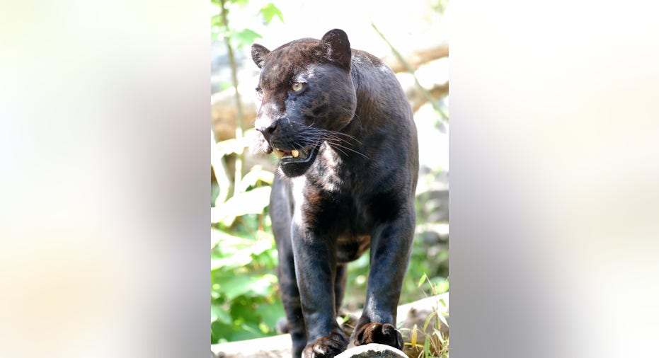 Panther zoologiede