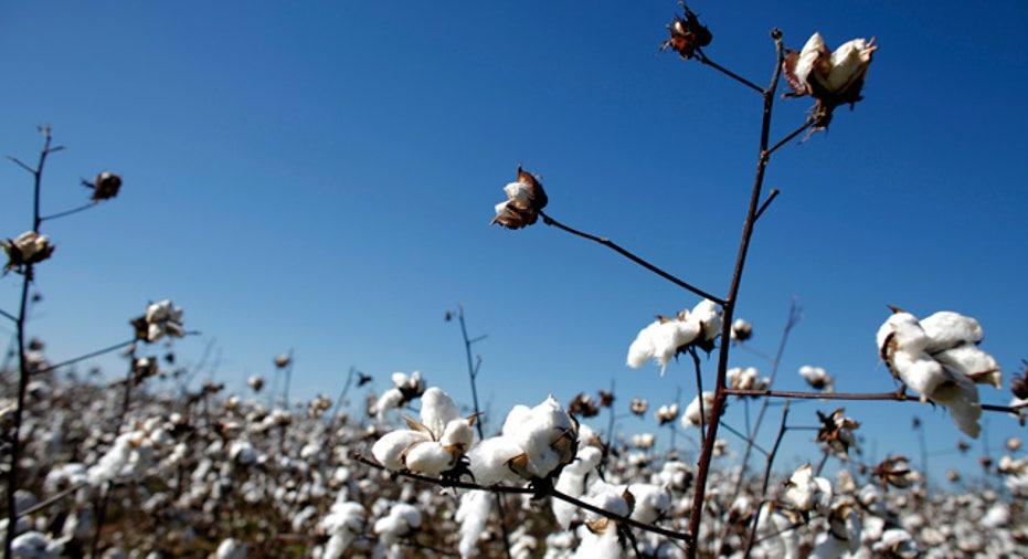 Cotton Field Near Birmingham, Alabama