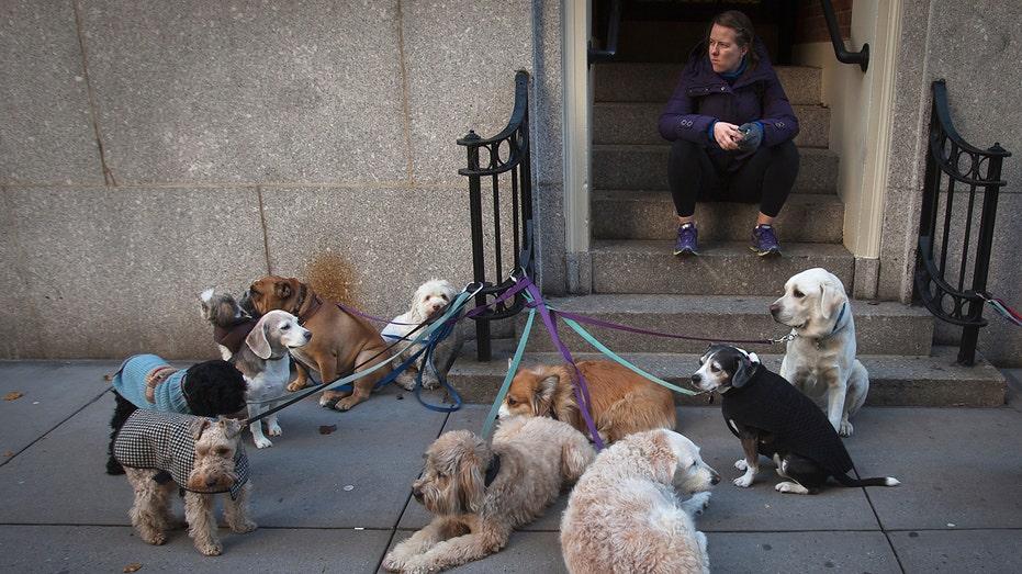 dog walker, dogs, pets, FBN