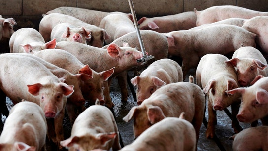 Pork producers fear being slaughtered by Mexico tariffs