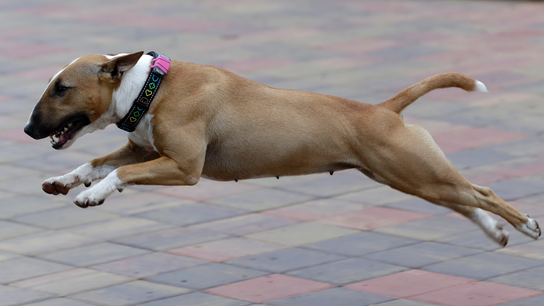 A dog's life: fitness trackers help put fat pets on a diet