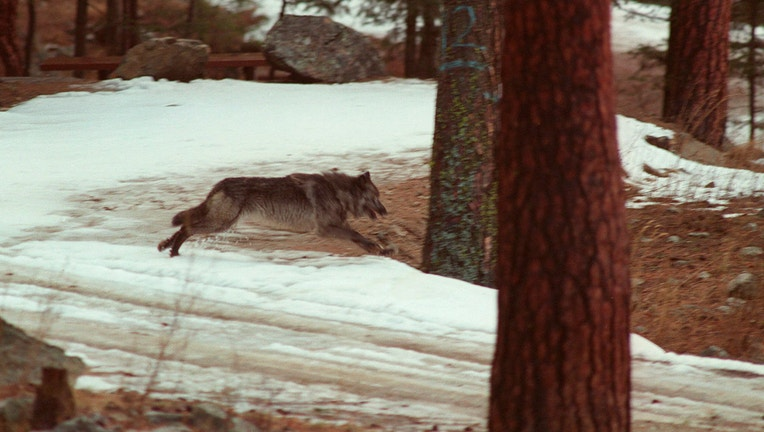 Us Rejects Request For Information On Idaho Wolf Attacks Fox Business