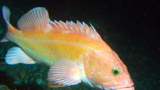 Catch limits increase for key West Coast groundfish species