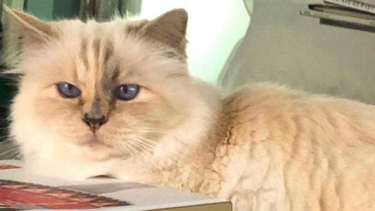Karl Lagerfeld's 'heiress' Choupette could become world's richest cat