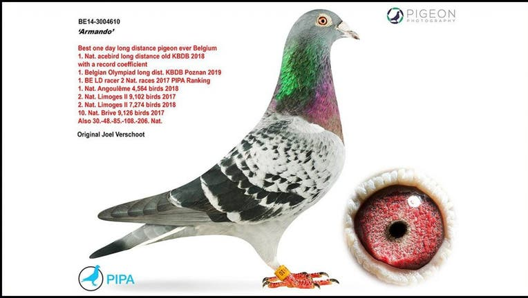 Champion pigeon sold at auction for a record-breaking €1.25m