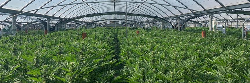 Most 2020 Democrats support legalizing marijuana