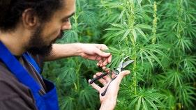 Marijuana producer destroying $58M of pot