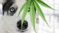 CBD and pets: Using pot on your dog or cat