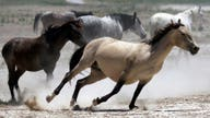 Here's how much money it'll take to curb wild horse problem in US: gov. official