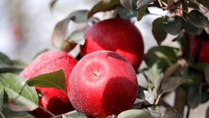 New 'Cosmic Crisp' apple to hit produce shelves soon