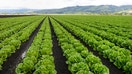 Romaine lettuce recall saps Thanksgiving spirits for growers