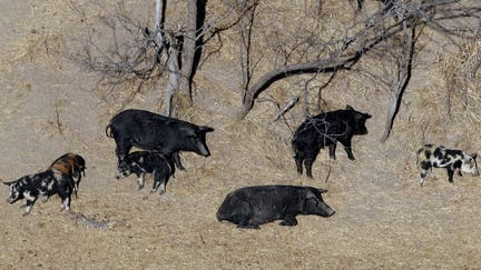 Montana seeks to keep feral pigs from Canada at bay