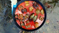 Scientists seeking cause of huge freshwater mussel die-off