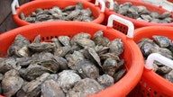 Chesapeake Bay oysters get more attention at pivotal time