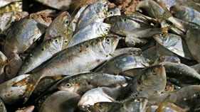 Trump admin. threatening ban to curb overfishing in Chesapeake Bay