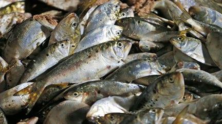 Trump administration may ban fish oil company from fishing in Chesapeake Bay