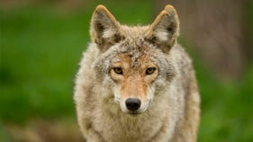 Authorities hunting for coyotes in downtown Chicago after brutal attacks