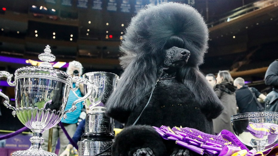 Bono the Havanese, Siba the Poodle advance to Westminster finals