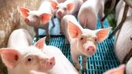 Pork plants face slower hog slaughter after court ruling