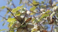 American tree nut farmers hit with surplus amid international trade complications