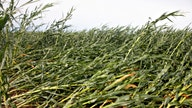 Iowa farmers assess losses after storm flattened cornfields