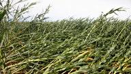 Iowa farmers assess losses after storm flattened cornfields