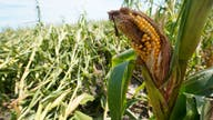 Report: Iowa's derecho crop losses increase by more than 50%