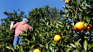 Florida citrus industry in trouble as orange production falls