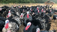 Thanksgiving feast or famine? Turkey industry left to guess