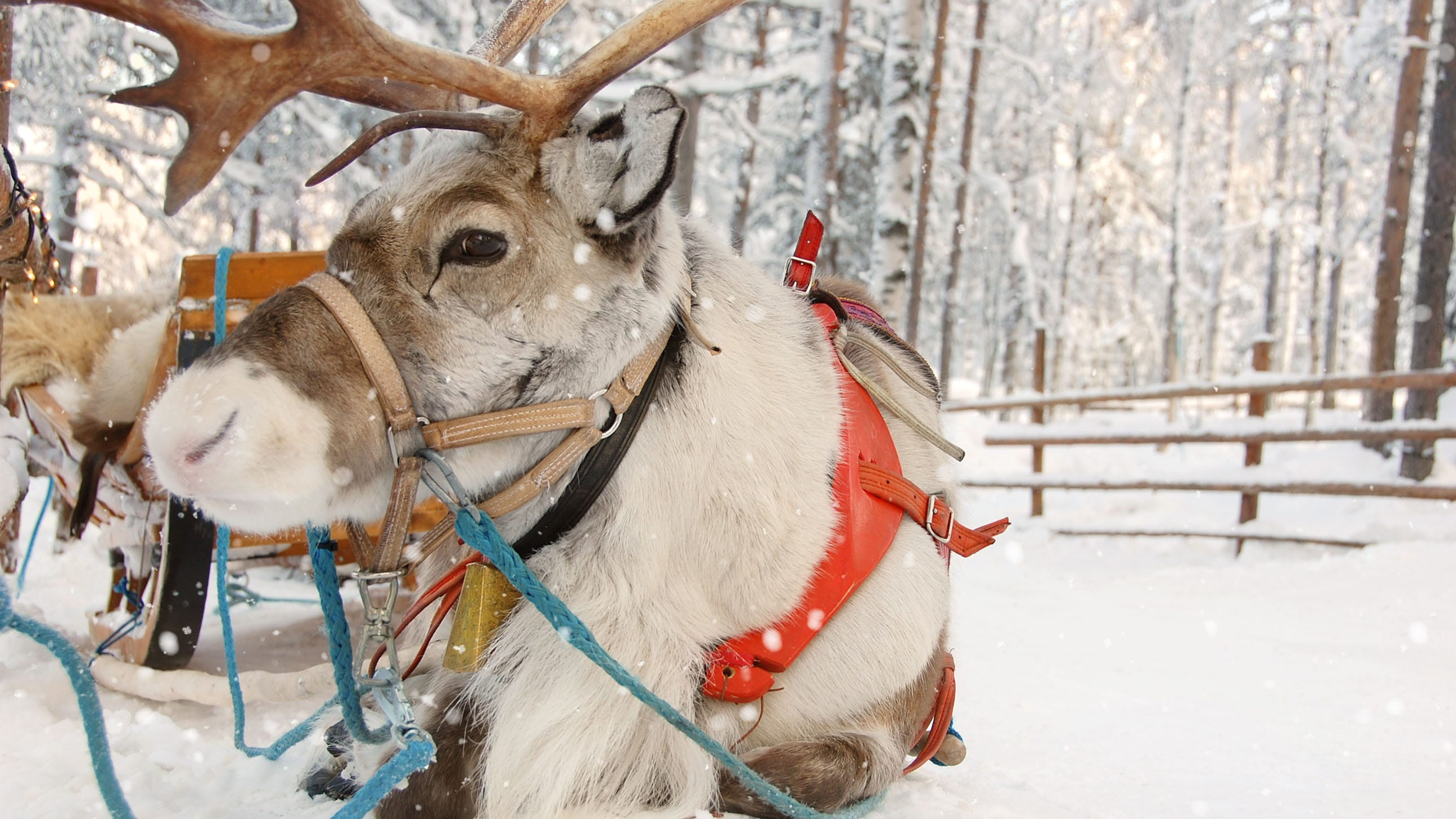 Brewery to deliver beer by reindeer this holiday season