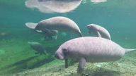 Manatees are dying in Florida, and the US wants to know why