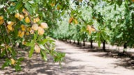 California almond growers look to future amidst water woes