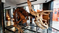 World's largest triceratops skeleton going up for auction could fetch more than $1.4M