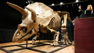 World's largest triceratops skeleton sells for $7.7M at auction