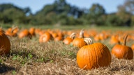 Pumpkin shortage hits the US ahead of Halloween, causing price increases