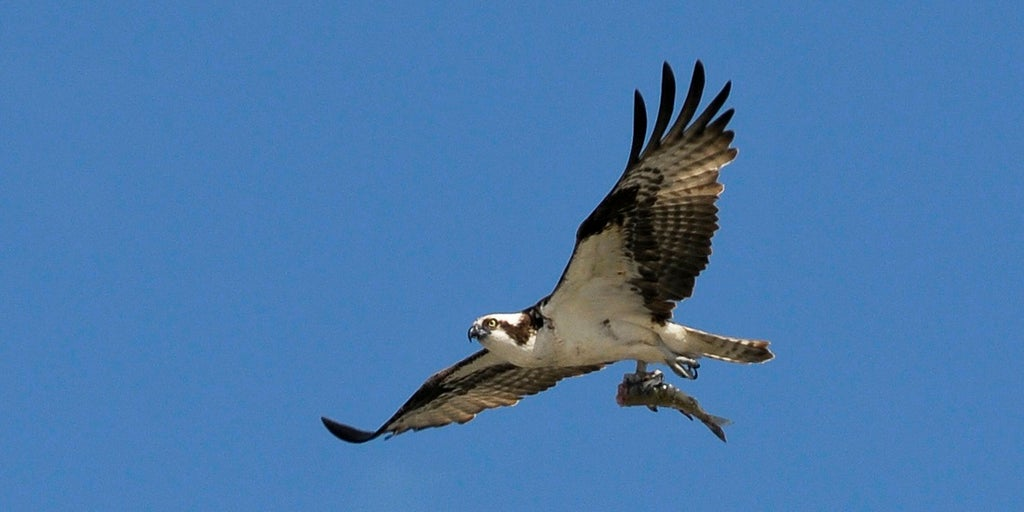 Wildlife photographer captures osprey carrying shark, carrying fish in  'one-in-a-trillion photograph' | Fox News