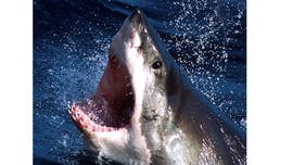 Huge great white shark caught on camera in incredible video