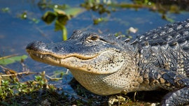 Florida man survives alligator attack while walking dog, gets 65 stitches