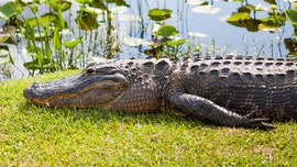 Huge alligator strolls across South Carolina golf course: He's 'running late for his tee time'