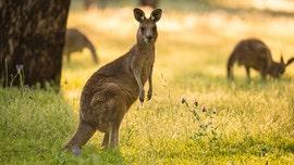 Kangaroo attacks Australian wildlife caretaker who was attempting to save husband