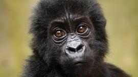 Robot 'spy' gorilla records wild Ugandan gorillas singing and farting