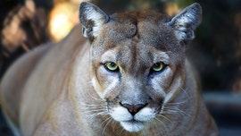 Third cougar captured amid city's coronavirus lockdown