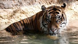Zookeeper recovering after mauling by Sumatran tiger at Kansas zoo