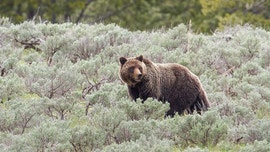 Musician killed by grizzly bear in Canada during sound gathering project: reports