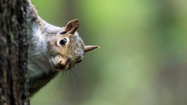 Squirrels are left or right-handed, researchers discover