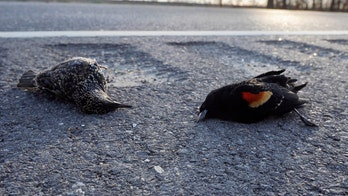 Hundreds of birds found dead on Welsh road, and police aren't sure why