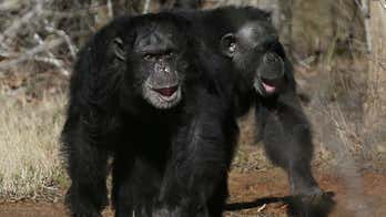 Chimpanzees are killing gorillas unprovoked for the first time: scientists