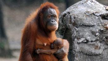 Cadbury bars leave orangutans on 'brink of extinction' thanks to 'destructive' palm oil