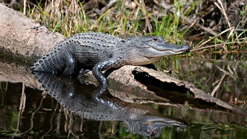 North Carolina's first alligator hunt in 40 years to end without kill